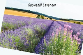 Snowshill Lavender 2